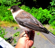 This bird settled on my hand while I was tromping around Mount Baker, and let me snap his picture...