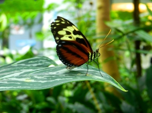 A butterfly in the Seattle Butterfly Exhibit poses on a leaf ....