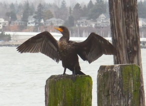 A cormorant spreads his wings and eyes me while I take his photo.