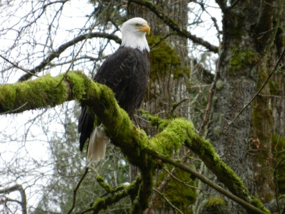Right after I got a new camera I spotted this eagle posing in a tree for me...