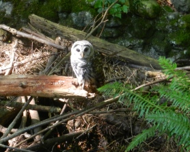 An owl at Lake Padden, WA, spent five or ten minutes in silent communion with me.