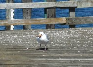 seagull with a beak full of lunch