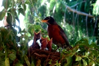 Mama Robin and babies on our porch. (Karen Molenaar Terrell)