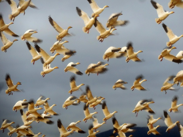 snowgeese in flight contrast