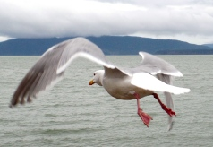 Seagull Taking Flight (Photo by Karen Molenaar Terrell)