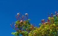 Cecil Bruner Climbing Rose