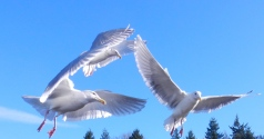Seagulls flying over Bellingham Bay.