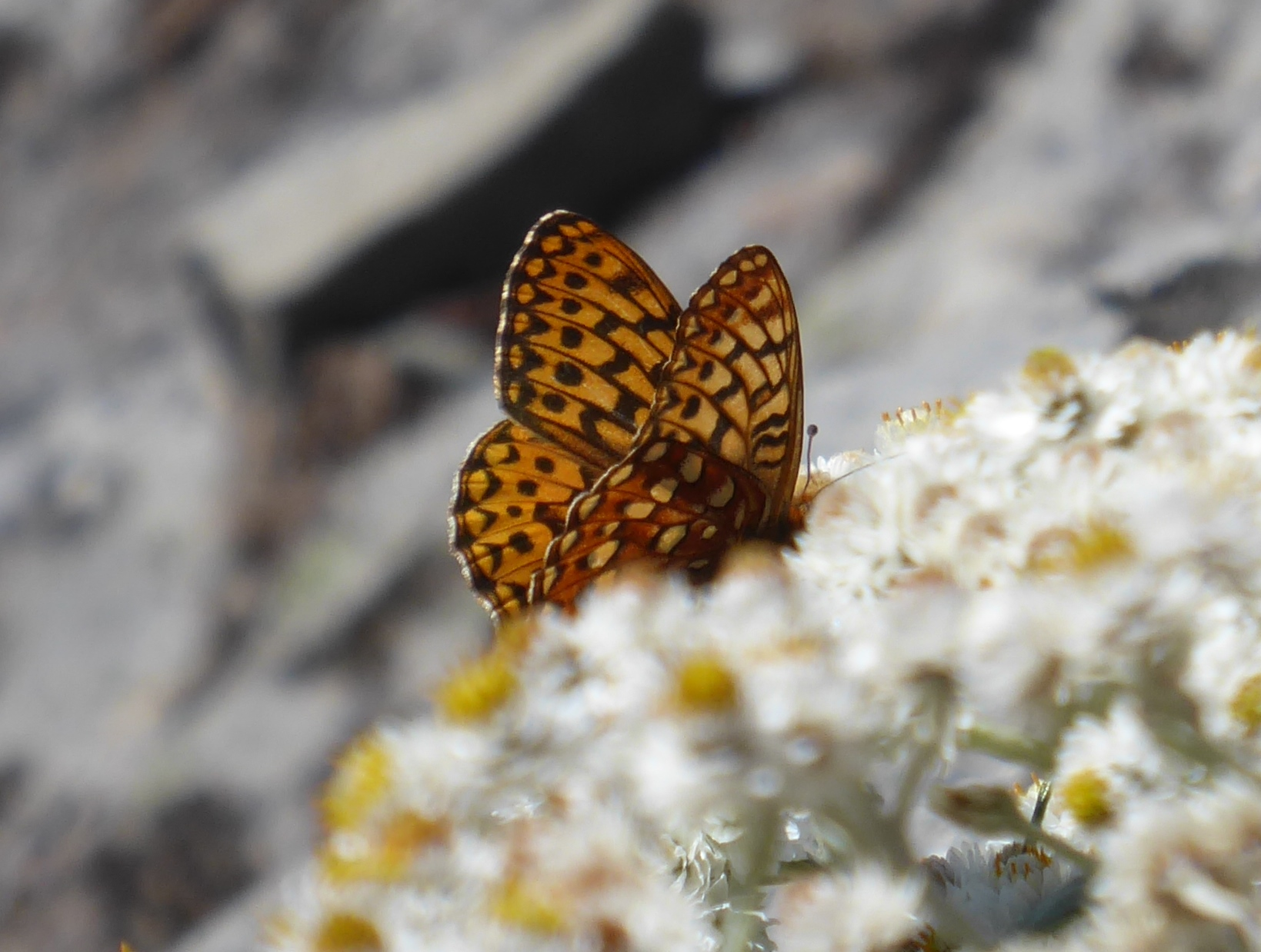 Butterfly on Table Mountain