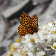 An alpine butterfly flits among the flowers on Table Mountain. Photo by Karen Molenaar Terrell.