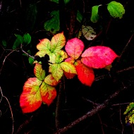 autumn blackberry leaves
