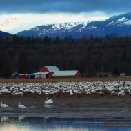 Trumpeter Swans and Snow Geese in Bow
