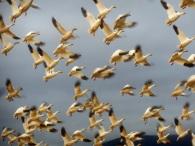 Snow geese in Skagit County, WA. Photo by Karen Molenaar Terrell