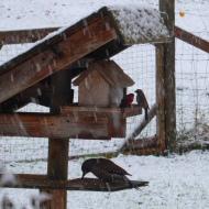 flicker-red-finch-birds