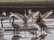 Trumpeter Swans in Bow, WA (photo by Karen Molenaar Terrell)