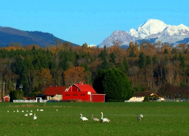 Barn, Mount Baker, and Swans