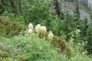 bear grass flowers this one