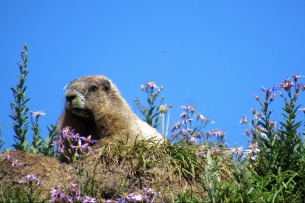 Marmot on Mount Rainier (photo by Karen Molenaar Terrell)