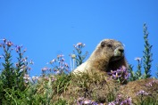 flipped marmot photo for facebook