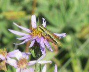 grasshopper on purple flower this one really truly for real