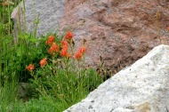 Indian paintbrush (5) this one