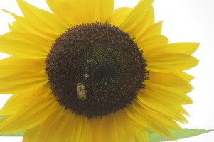 bee on sunflower (3) this one really