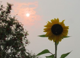 sunflower and smokey sun this one 2 really