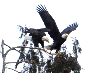 Two Eagles in Skagit County (photo by Karen Molenaar Terrell)