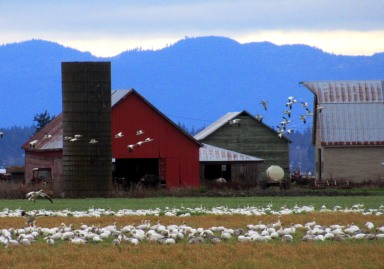 Red Barn and Snow Geese