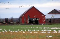 Red Barn and Snow Geese in LaConner, WA