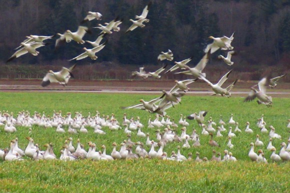 Snow Geese Taking Flight