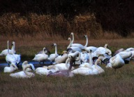 Trumpeter Swans in Skagit County, WA