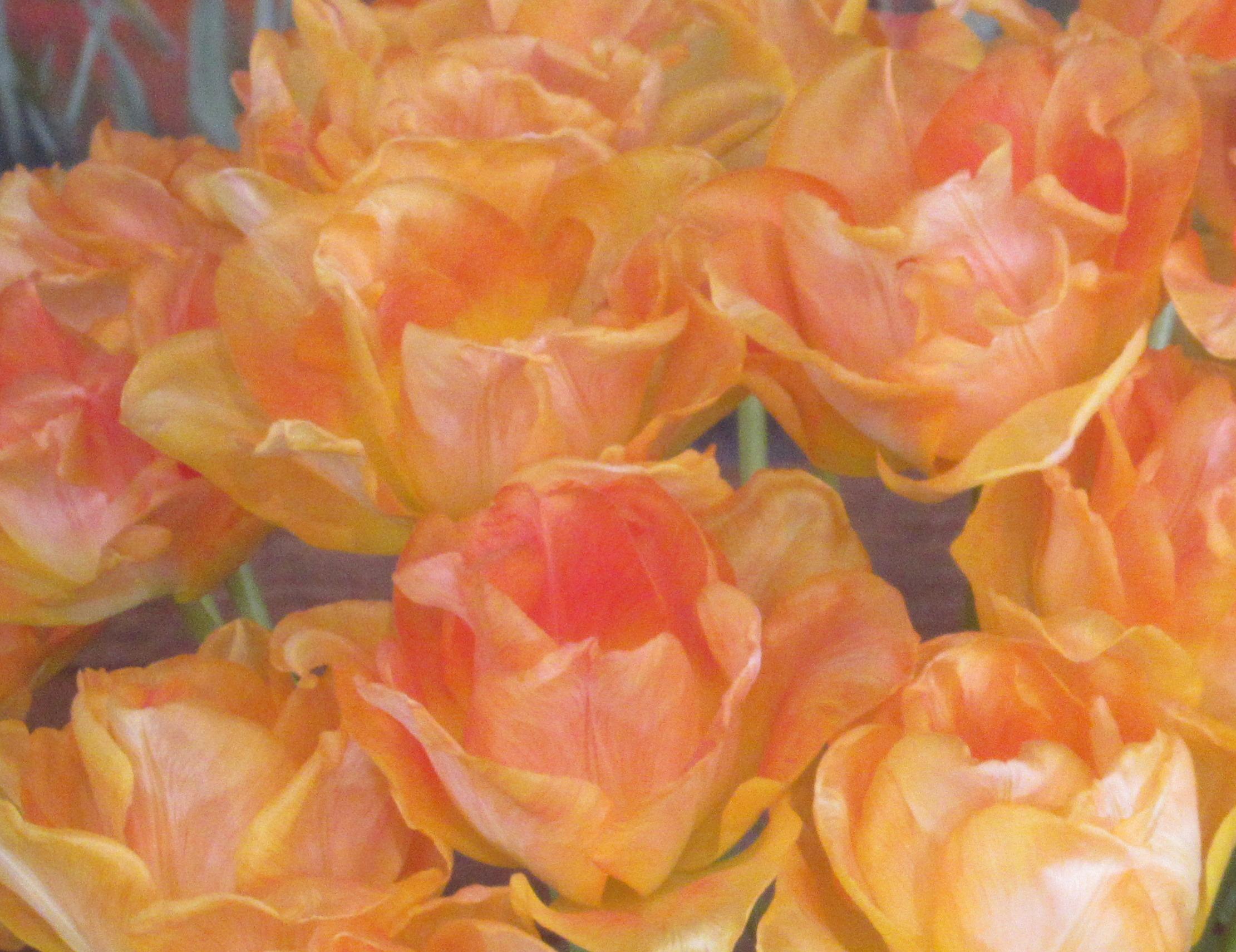orange pink tulips 2 this one.jpg
