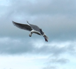 Seagull with Breakfast