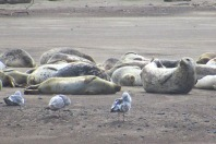 Seals at Lincoln City