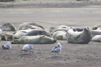 Seals at Lincoln City