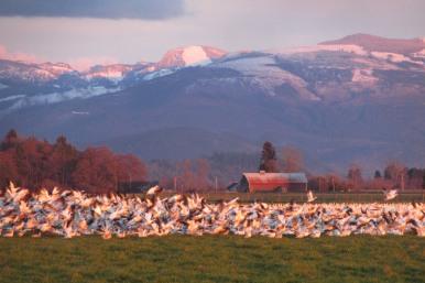 Snow geese in Skagit County, Washington. Photo by Karen Molenaar Terrell.