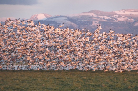 Snow geese in Skagit County, WA. Photo by Karen Molenaar Terrell.