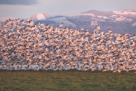 Snow geese in Skagit County, WA. Photo by Karen Molenaar Terrell.