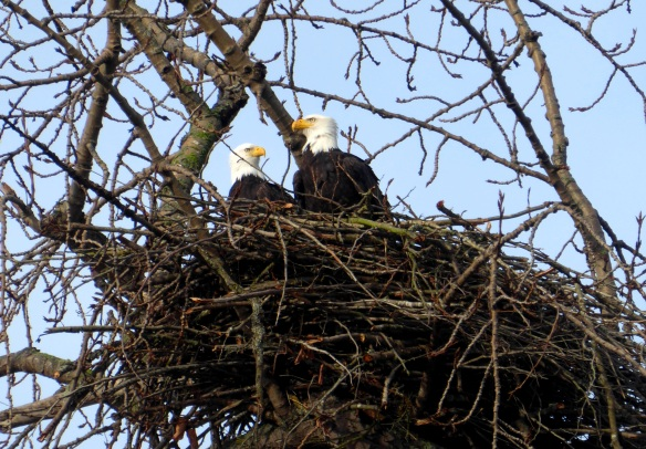 Two eagles in a nest in Bow, WA. Photo by Karen Molenaar Terrell.