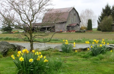 daffodils and barn this one