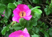 Honeybee in the Rosa Rugosa