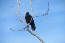 Crow in Bellingham, WA