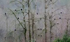 Eagles in Tree in Western Washington (photo by Karen Molenaar Terrell)
