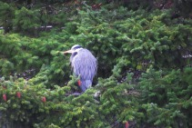 Heron in Tree in Bellingham