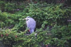 Heron in Tree in Bellingham