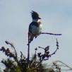 Kingfisher in Bellingham, WA