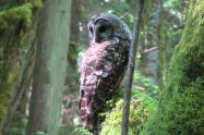 Owl in Tree at Lake Padden