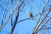 Robin in Bow, WA