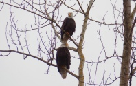 Pair of Eagles in Skagit County
