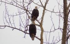 Pair of Eagles in Skagit County
